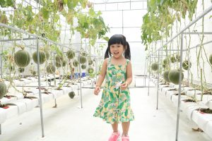 Dưa lưới chín cây tại vườn nông nghiệp công nghệ cao Phú An Khang