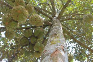 Cây sầu riêng lâu năm, cho trái nhỏ, múi đều- du lịch C2T