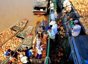 Tàu ghe tấp nập chuyên chở dừa đến các cơ sở thu mua trên tuyến sông Thom., Mỏ Cày Nam- Du lịch C2T