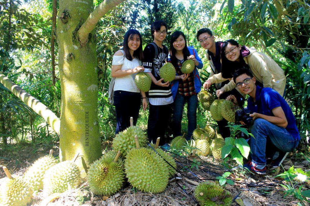 Vườn sầu riêng trĩu quả tại huyện Chợ Lách Bến Tre